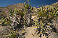 Yucca schidigera, in its native habitat