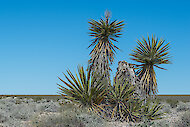 Sharp, sword-like leaves of Mojave yucca, Nevada