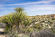 Yucca schidigera, also known as Mojave yucca or Spanish dagger, in its native habitat