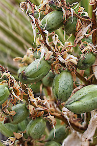 Source of seeds of Yucca schidigera, commonly Mojave yucca